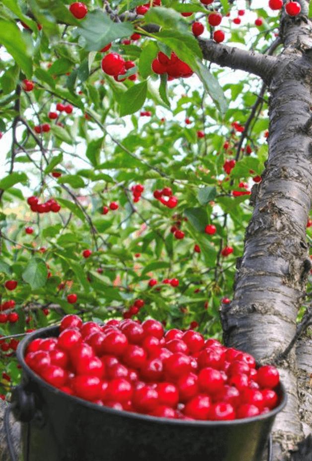 Fresh cherries from the tree