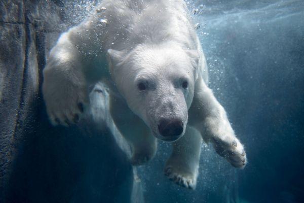 Polar Bear at the St. Louis Zoo