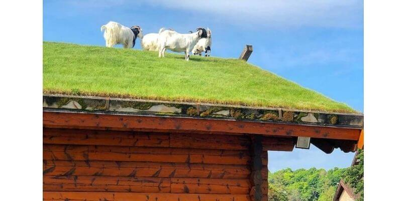 Al Johnson's goats on the roof