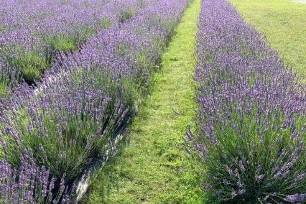 Fragrant Isle Lavender Field