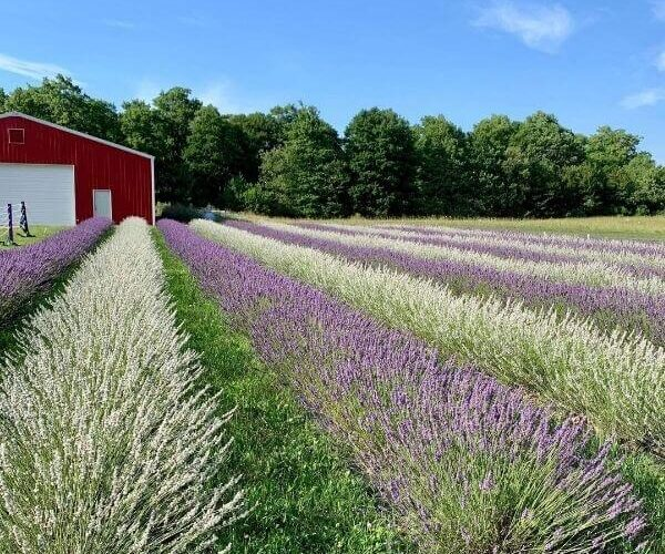 Fragrant Isle Lavender Farm, Washington Island WI