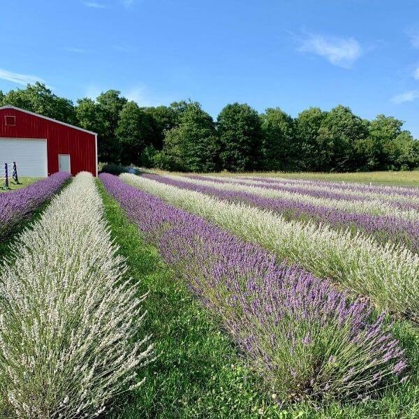 A Romantic Trip to Fragrant Isle Lavender Farm Washington Island Door County Wisconsin