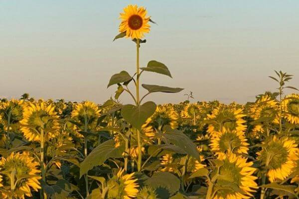 One tall sunflower in the field