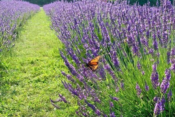 Lavender field with a butterfly