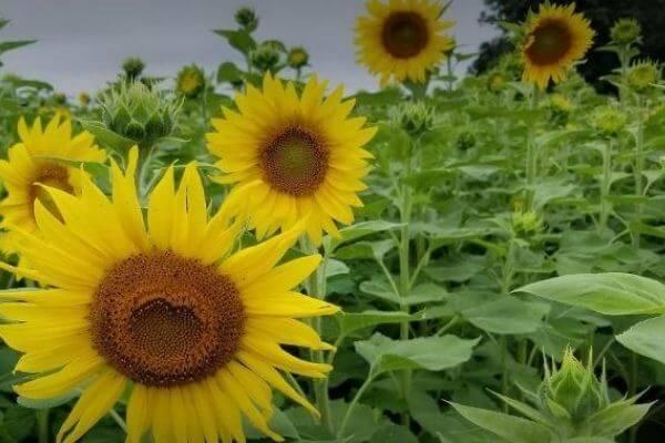 Lannon Sun flowers