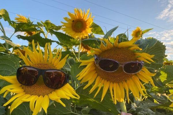 Sunflowers with Gary and Michelle's Sunglasses