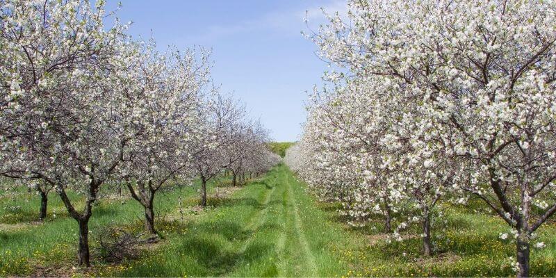 Door County cherry orchards
